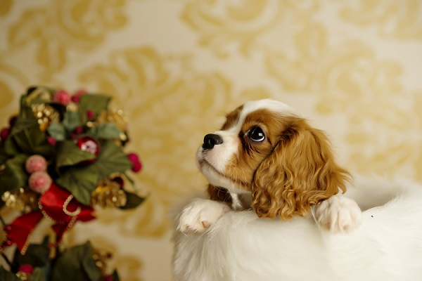 © Andie Freeman Photography |King Charles Cavalier Spaniel puppy photos, newborn shoot for puppy, puppy in stocking