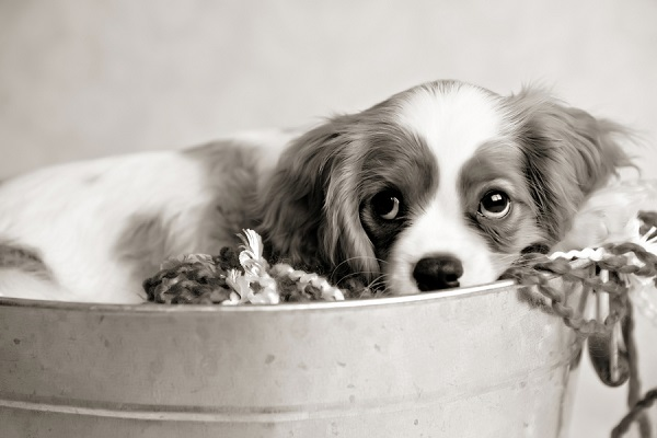 © Andie Freeman Photography | Cavalier King Charles Spaniel puppy, studio pet photography