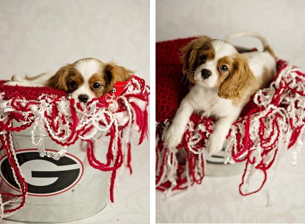 © Andie Freeman Photography | King Charles Cavalier Spaniel puppy photos, Georgia  Bulldog puppy fan