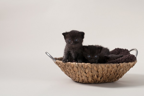 © B Brinston Photography | pet photography, kittens in basket