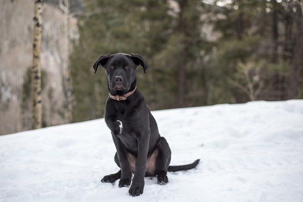 © Caitlyn Elizabeth Photography LLC | Black Labrador puppy enjoying first snow, on location pet photography