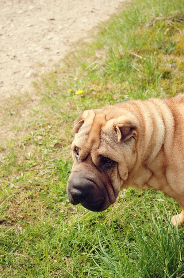 © Catharine Noble Photography | Handsome Shar Pei