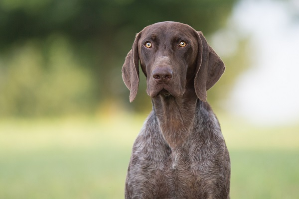© Gayle Driver Photography | German Short haired pointer, photos of German Shorthaired Pointer