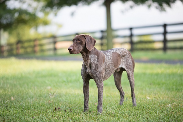 © Gayle Driver Photography | German Shorthaired pointer