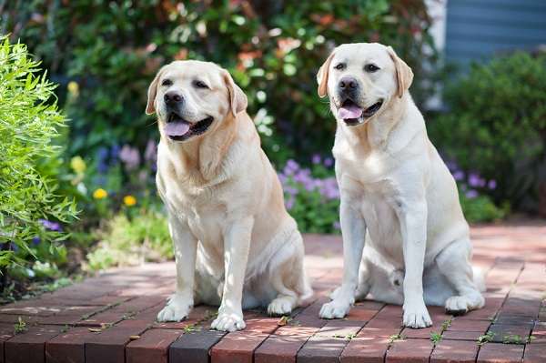 © Origin Photo | English Yellow Labradors