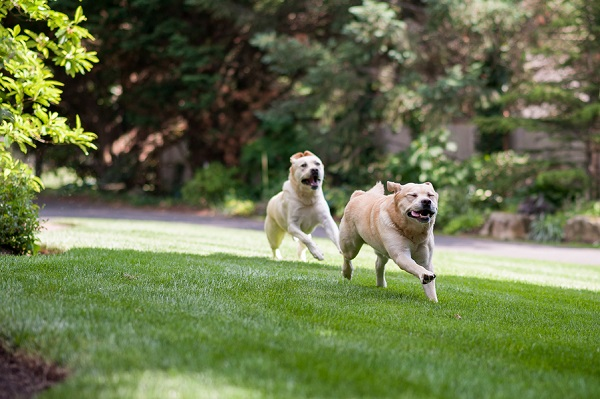 © Origin Photo | Yellow_Labs running