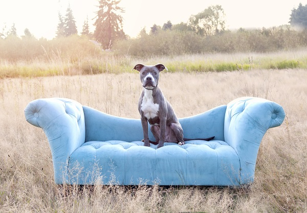 © Two Red Dogs Photography | Adoptable Pit bull mix from Project Buddy Rescue Ranch, photographer helping shelter pets, pit bull blue sofa in field