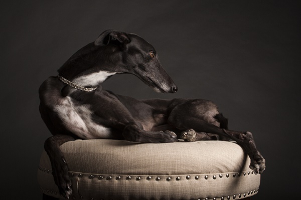 © Angel Sallade Photography | greyhounds-studio-photography, graceful-dog,
