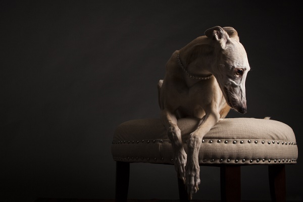 © Angel Sallade Photography | graceful greyhound, studio shots-sighthounds, greyhound-model, ballerina