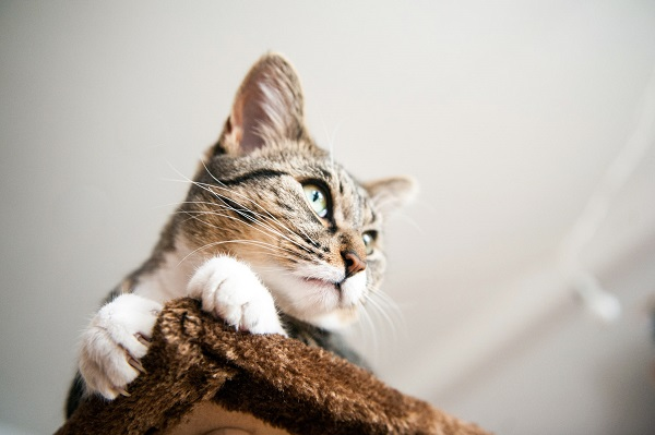 © Chantal Levesque Photo   Montreal Pet photography, cat-top-of-cat-tree