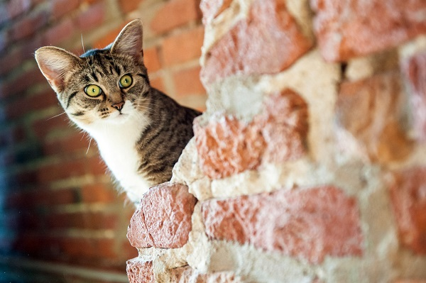 © Chantal Levesque Photo | lifestyle Montreal Pet photography, Caturday, cat peering out from brick wall