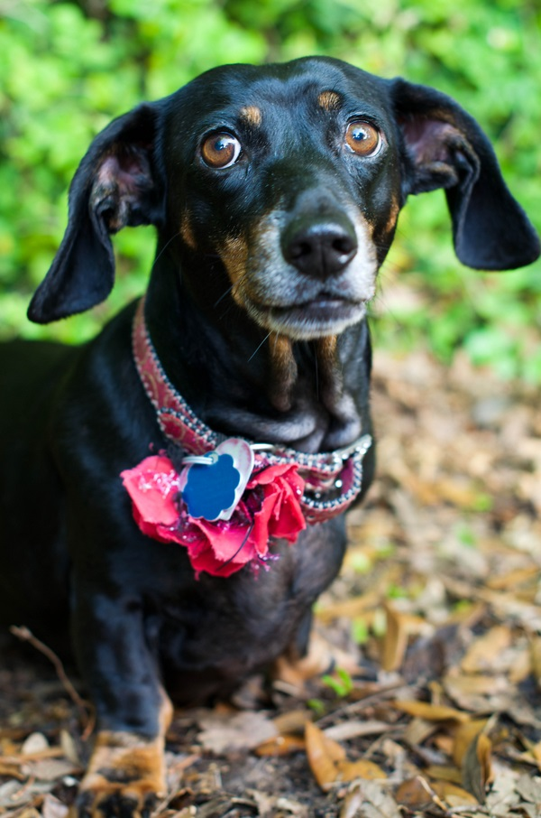 © Corner House Photography | Hot-dog-gang-member, doxie-portraits