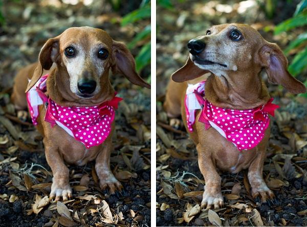 © Corner House Photography | Adorable-brown-Dachshund, dog-photography