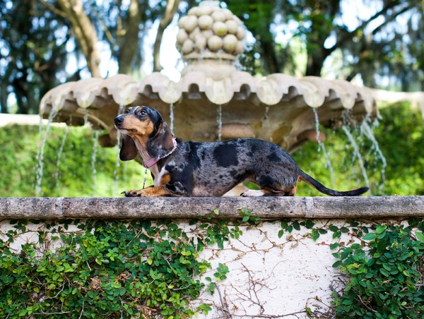 © Corner House Photography | Doxie on water fountain,