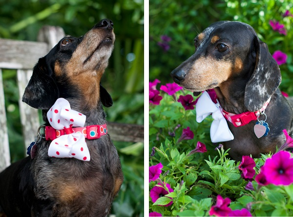 © Corner House Photography | Doxies-in-bows