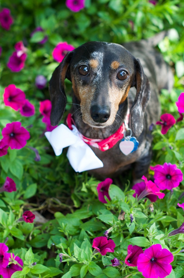 © Corner House Photography | cute-Doxie-in-flowers, on-location-dog-photography