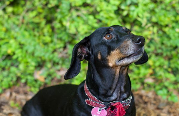 © Corner House Photography |pictures of Dachshunds