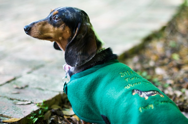 © Corner House Photography | Wiener-Dog-Derby-Champion, leader-of-hot-dog-gang, Florida-pet-photography