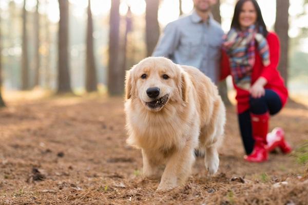 © Elizabeth Henson Photos   on location pet photography, Golden Retriever