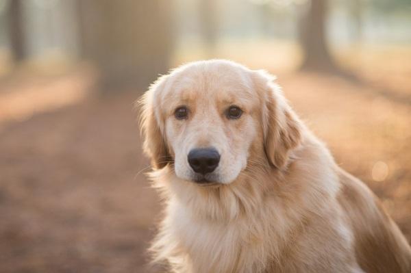 © Elizabeth Henson Photos   Handsome Golden Retriever