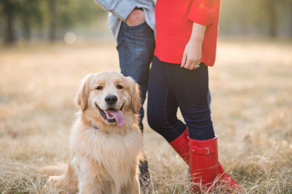 © Elizabeth Henson Photos   Handsome happy Golden Retriever, on location dog family portraits