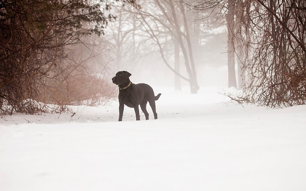 © Kathryn Schauer Photography | winter dog portraits, Black Lab in snow, soft winter image