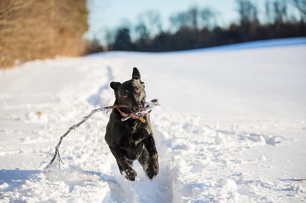 © Kathryn Schauer Photography | Fetching!, Black Lab playing Fetch in snow, stick loving dog