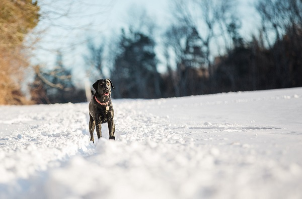© Kathryn Schauer Photography | pictures-of-dogs-in-snow, Black-Lab-in-snow