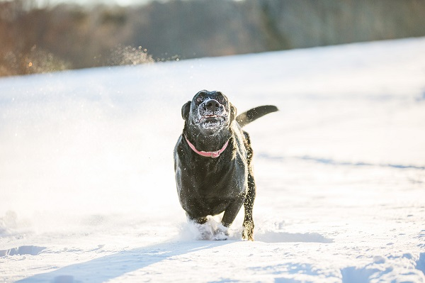 © Kathryn Schauer Photography | goofy Black Lab portrait, Lab running in snow