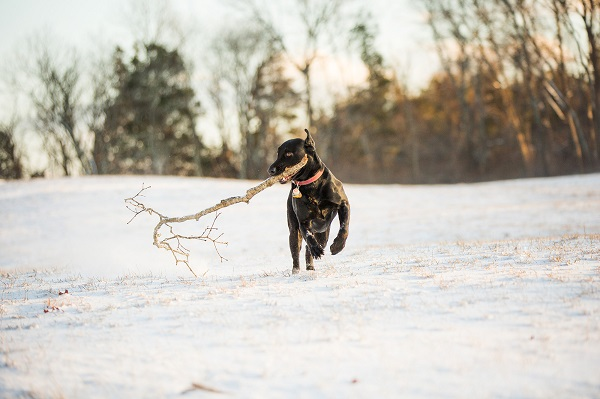 © Kathryn Schauer Photography |Stick!  Fetching!, Black Lab playing Fetch in snow, stick loving dog, dog-with-big-stick