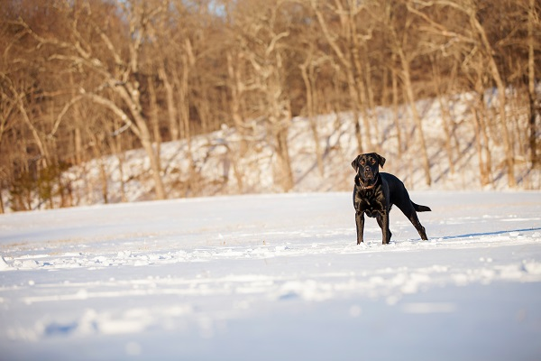 © Kathryn Schauer Photography | lifestyle pet photography, Black Lab in covered  field, photos of snow loving dogs
