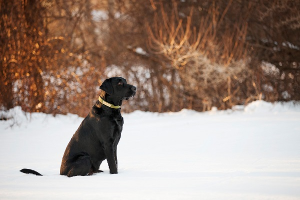 © Kathryn Schauer Photography  | Handsome Labrador winter photos, snow dog