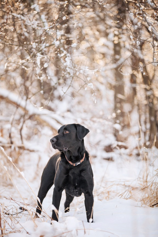 © Kathryn Schauer Photography | Handsome Black Labrador in snow, CT dog photography
