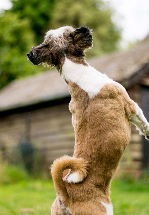 © Lebolo Photography | happy Shih Tzu jumping/dancing outside