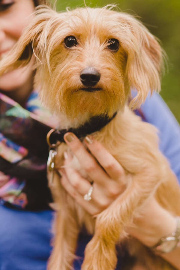 © Maria Sharp Photography |Dorkie, Dachshund-Yorkie-mixed breed, dog in engagement pictures