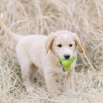 Yellow-Labrador/Golden-Retriever -mixed-breed-puppy