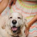 Clumber spaniel, pet photography