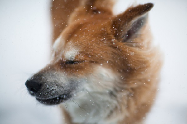 © Michele Ashley Photography | handsome-dog-in-snow, Chow-Shepherd-mix, snow-day-with-dogs