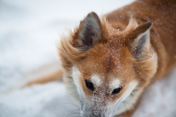 © Michele Ashley Photography | Worcester photography, winter-dog-pictures, wind-blowing-dog's fur, handsome-snowy-dog
