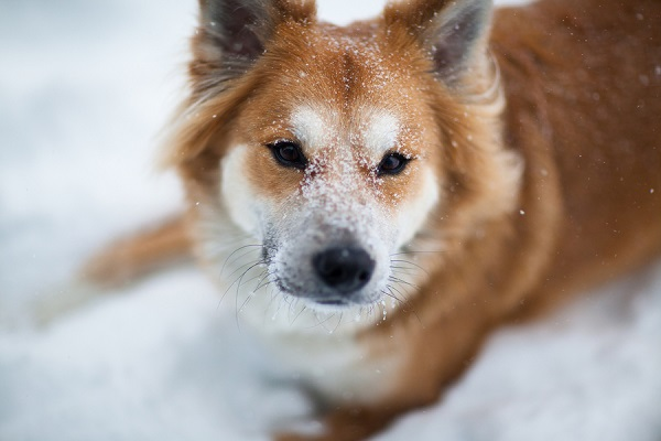 © Michele Ashley Photography | handsome dog loves snow, lifestyle-dog-photography, fox-dog