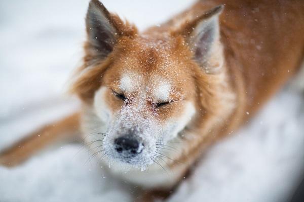 © Michele Ashley Photography   winter-pet-photography, snow-dog, Shepherd-Chow-mix, fox-dog