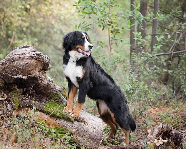 © Sierra Luna Photography | bernese-mountain-dog photos, on-location-dog-photography, Placerville-dog-photographer