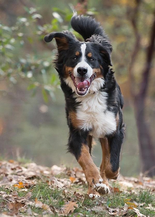 © Sierra Luna Photography | action shot, Bernese Mountain Dog running, lifestyle-dog-photography
