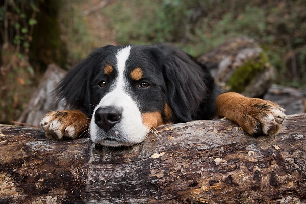 © Sierra Luna Photography | Bernese Mountain Dog resting on log, CA-dog-photographer