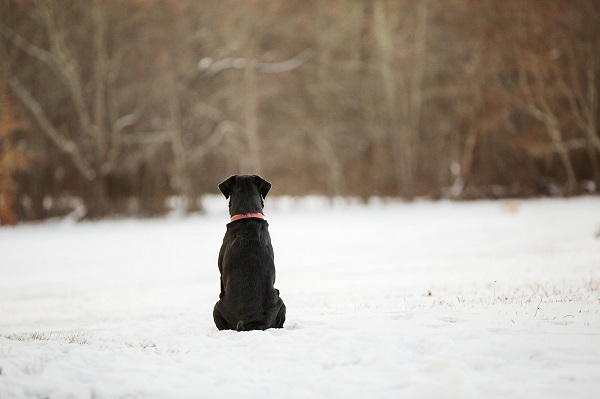 © Kathryn Schauer Photography | Waiting-For-Friends, Black-dog-sitting-in-field, red-collar, snow dog photography