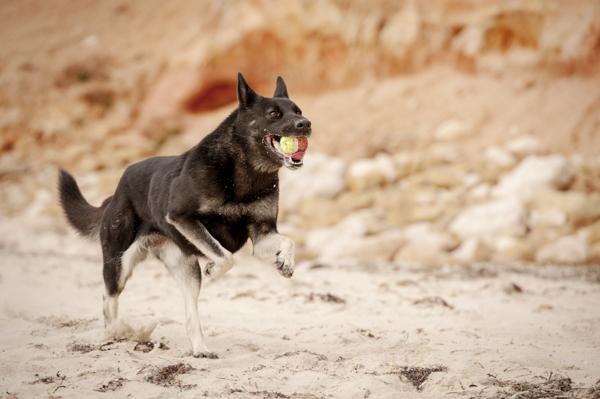 © Bitsa Bernard Photography | dog playing fetch on beach, lifestyle pet photography, German Shepherd at the beach