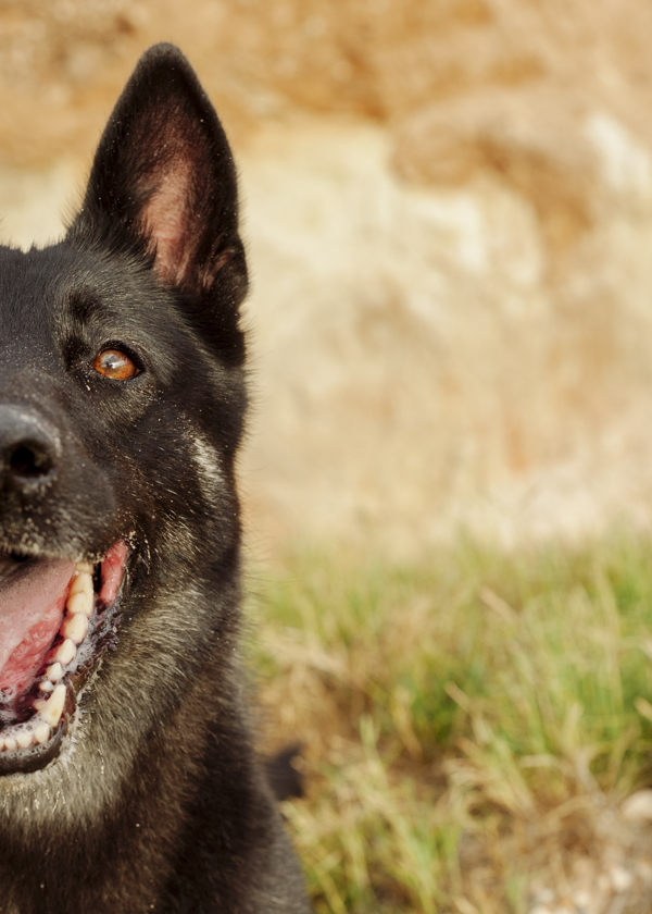 © Bitsa Bernard Photography | gorgeous black German Shepherd close up, Adelaide-dog-photography
