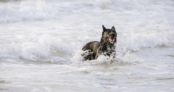 © Bitsa Bernard Photography | Black Shepherd mix  in ocean