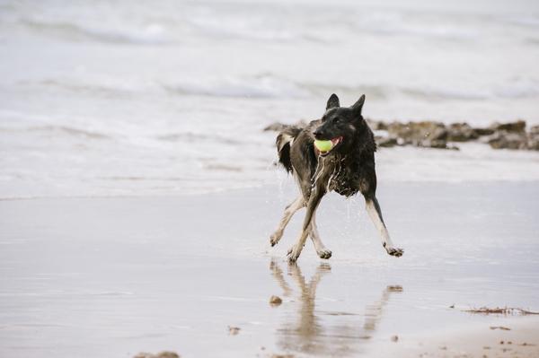 © Bitsa Bernard Photography | German Shepherd cross at beach