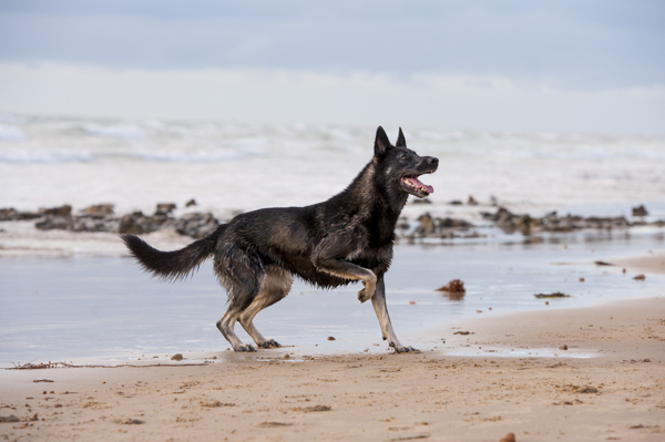 © Bitsa Bernard Photography | Adelaide pet photography, German Shepherd x on beach